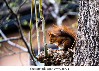 European red Squirrel sitting on a tree branch. Close up high quality photo
