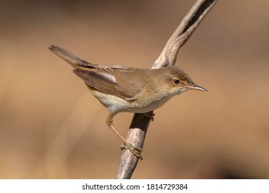 European reed warbler (Acrocephalus scirpaceus) Cordoba, Spain