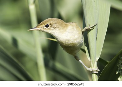 European Reed Warbler in natural habitat Acrocephalus Scirpaceus