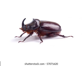 The European rhinoceros beetle on white background