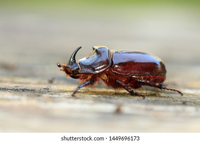 The European rhinoceros beetle (Oryctes nasicornis)