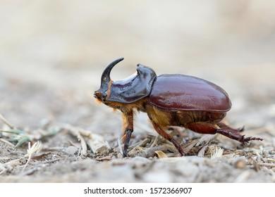 European Rhinoceros Beetle (Oryctes nasicornis) in Kyrgyzstan. Side view of beetle walking on the barren ground.