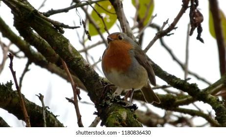 European Robin at Autumn-time