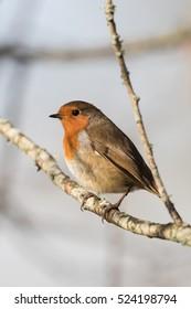 European Robin, Robin, Birds