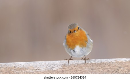 European Robin (Eritachus rubecula) perching on a bench