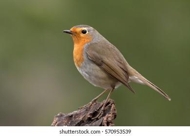 European robin. Erithacus rubecula