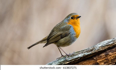 The European Robin (Erithacus rubecula). A dear guest who says hello perching on an old branch. With matching colors and nice defocused background.