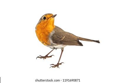 European robin (Erithacus rubecula) isolated on a white background.