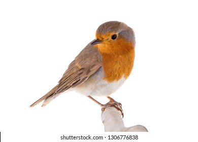 European robin (Erithacus rubecula) isolated on a white background
