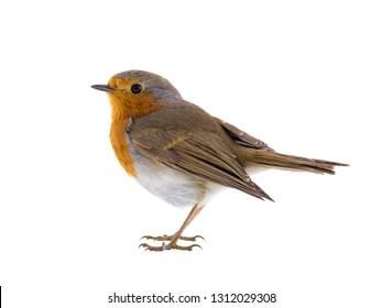 European robin (Erithacus rubecula) isolated on a white background