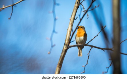 The European robin (Erithacus rubecula) known simply as the robin or robin redbreast