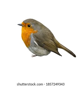 The European robin (Erithacus rubecula), known simply as the robin or robin redbreast, isolated on white background