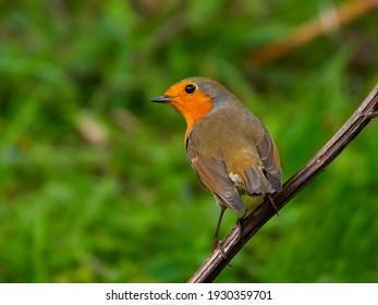 european robin (Erithacus Rubecula) in natural habitat