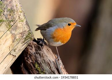 European robin (Erithacus rubecula) in its natural habitat