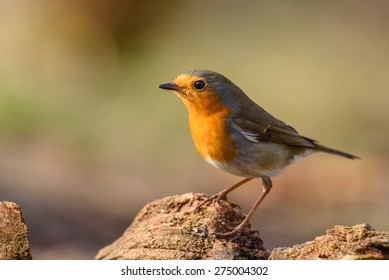 European robin (Erithacus rubecula) in its natural environment.