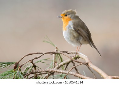 European Robin (Erithacus rubecula) on a branch of a pine tree