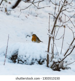 European Robin, Erithacus Rubecula, on a snowy ground in winter season