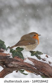 European Robin (Erithacus rubecula) on branch in snow.