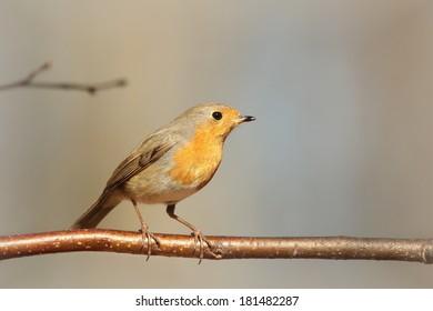European Robin (Erithacus rubecula) on a twig.