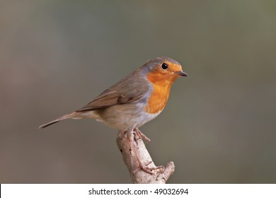 European robin, Erithacus rubecula on a branch. Shallow depth of field and background blurred