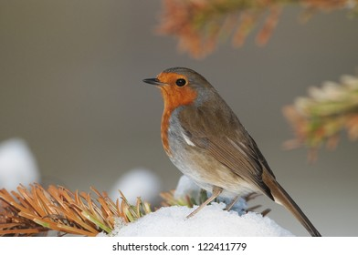 European Robin (Erithacus rubecula) perched on a mound of snow