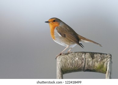 European robin (Erithacus rubecula) perched on an old spade handle