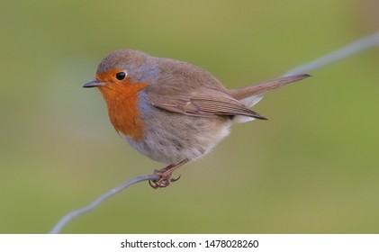 European robin (Erithacus rubecula) perched on a wire, Brittany, France