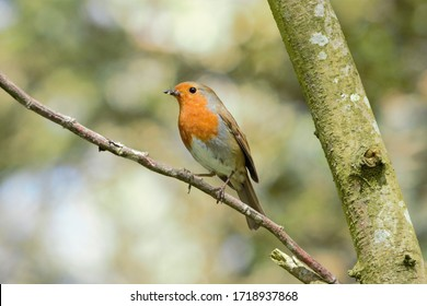 A European Robin (Erithacus rubecula) perched on a tree branch.