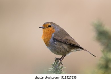 A European Robin (Erithacus rubecula) perched on gorse, against a blurred natural background, Yorkshire, UK