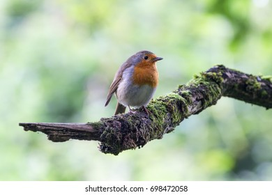 European Robin (Erithacus Rubecula) perched on Branch, Newbury, Berkshire, UK