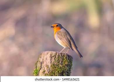 European robin, Erithacus rubecula, perching on tree trunk in british woodland on sunny autumn day.Bright and vibrant picture of cute, small bird with blurred background and copy space.