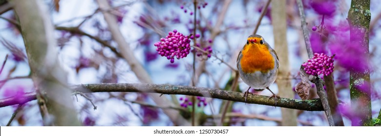 European robin (Erithacus rubecula) or robin redbreast and Callicarpa (  beautyberry Callicarpa Lamiaceae )  purple berries , close up. Bird on the tree with puple berries, banner