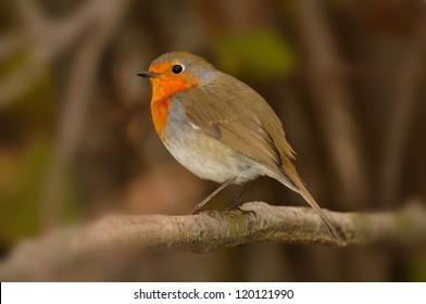 European Robin (Erithacus rubecula) in a shrub