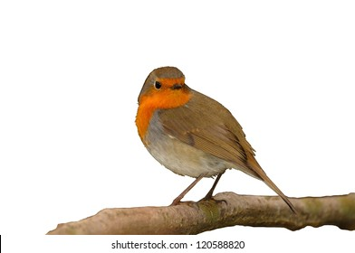 European Robin (Erithacus rubecula) in a shrub looking in camera isolated on white