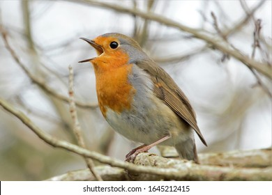 A European Robin (Erithacus rubecula) singing whilst perched on a branch.