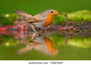 European Robin, Erithacus rubecula, sitting in the water, bird in the nature habitat, nesting time, Germany. Orange songbird with mirror reflection in water surface.