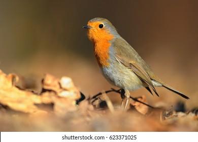 The European robin Erithacus rubecula in the spring