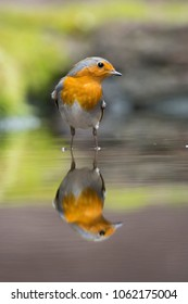 European robin (Erithacus rubecula) in a water hole in a forest in the Netherlands
