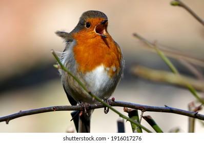 European Robin in full song at RSPB Loch Leven