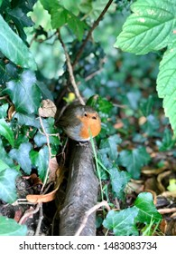 European robin, known simply as the robin or robin redbreast from the British Isles