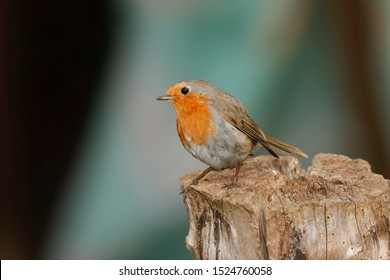The European robin, known simply as the robin or robin redbreast in the British Isles, is a small insectivorous passerine bird