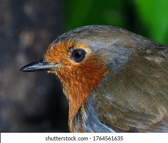 The European robin, known simply as the robin or robin redbreast in the British Isles, is a small insectivorous passerine bird that belongs to the chat subfamily of the Old World flycatcher family.