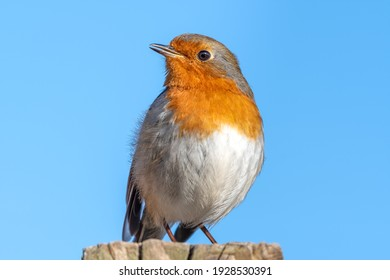 European Robin Perched on a Fence Post