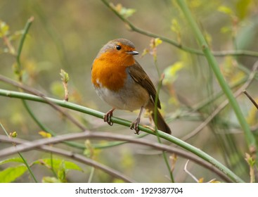 European Robin photographed in spring perched on bramble with new shoots appearing.