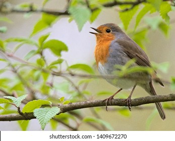 European robin redbreast, Erithacus rubecula, signing while perching on a branch