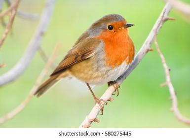 European Robin, Redbreast on a branch.