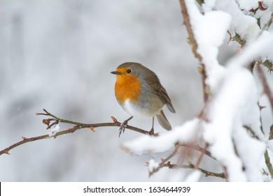European Robin or Robin Redbreast songbird in snowy weathe in winter.Beautiful festive scene.