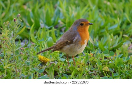 European Robin, Redbreast standing on green grass isolated.