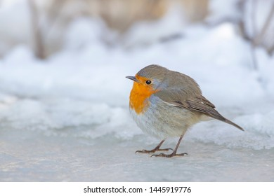 European robin sitting on ice during winter