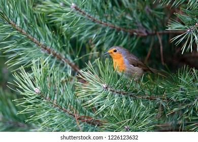 European Robin is sitting on a pine branch, the Netherlands